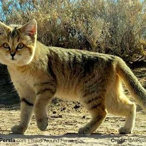 Nature and Wildlife  Tour-Rig-e Jen Desert Sand Cat-TAP Persia