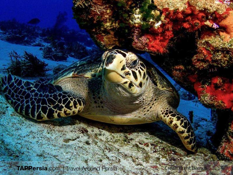 Top 10 Attractions In Qeshm Island - Eagle Snout Turtles