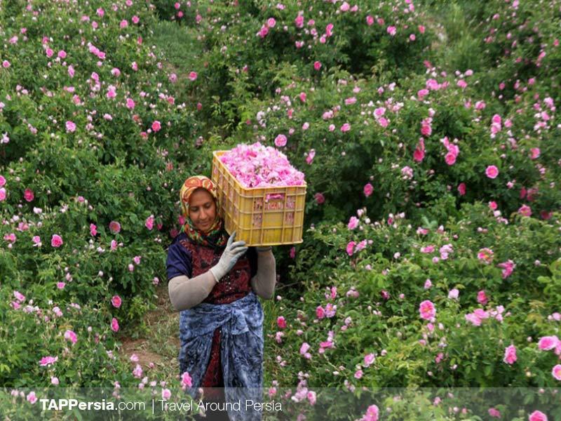 Ghamsar - Rosewater - Kashan - Iran
